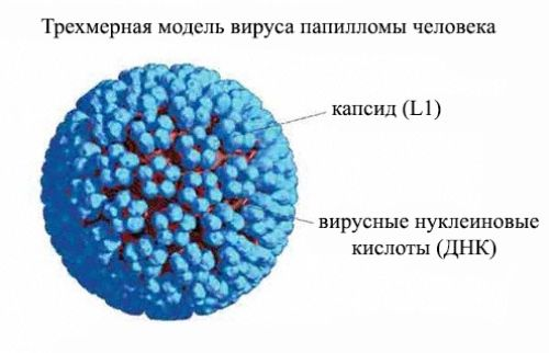 Биология вируса папилломы